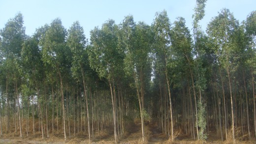 I'm not sure if these are rubber trees or trees used to make paper.
