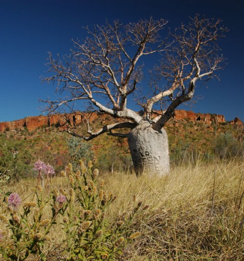 A typical Boab tree