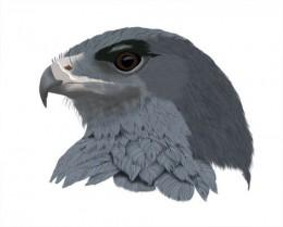 Black-breasted Buzzard-Eagle