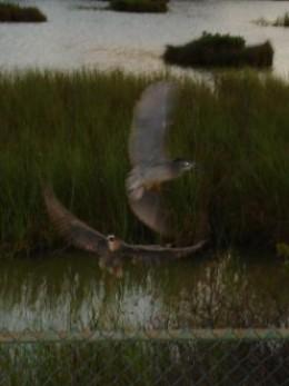 Black-crowned night herons disturbed by my presence.