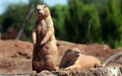 The Language of the Prairie Dog