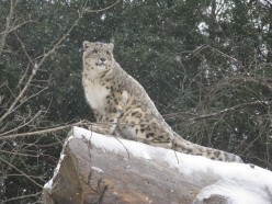 Snow Leopards at Binder Park Zoo