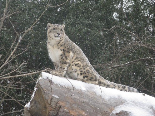 Capron, a male snow leopard residing at Binder Park Zoo in Battle Creek, MI.