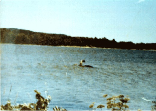 This is the 1977 Mansi photo deemed to be a fake or even a flipper of a large animal.