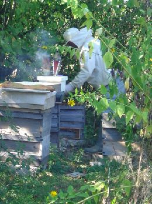 My husband tending our bees that make the honey for your breakfast