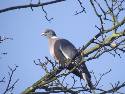 WOOD PIGEONS ARE NOW COMMON PLACE IN GARDENS.