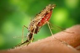 The Anopheles Albimanus Mosquito