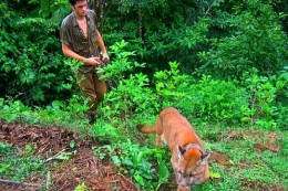 Walking the pumas through the jungle