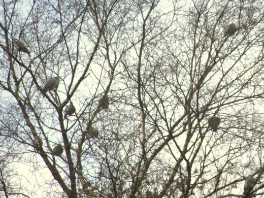 WOOD PIGEONS TEND TO ROOST COMMUNALY IN WINTER
