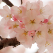 Delightful cherry blossoms in DC