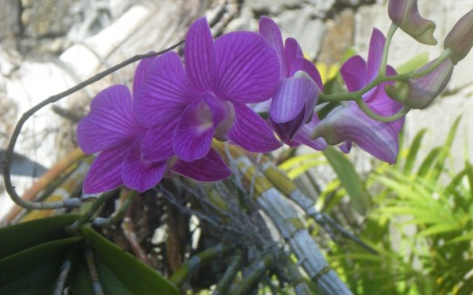 One reason I am always thankful for is the beauty of dendrubiums in my own garden...