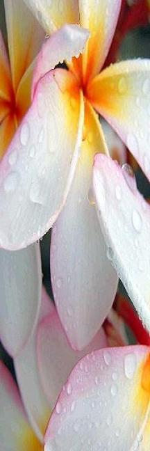 Lotus desire.