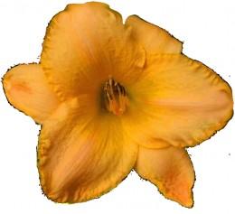 Beautiful Cantaloupe Blossom