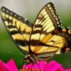 yellowbutterfly profile image