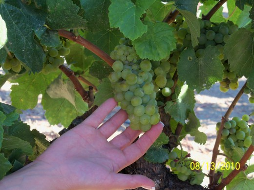 Grapes - ready for the picking and ready to come home with you and arrive at their fate!