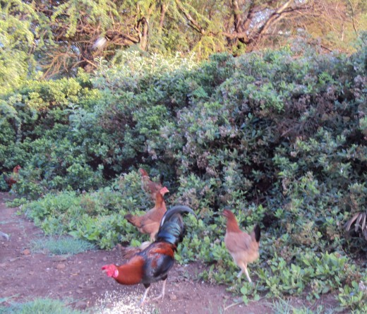 Junglefowl along the side of the road is a common site here on Maui.