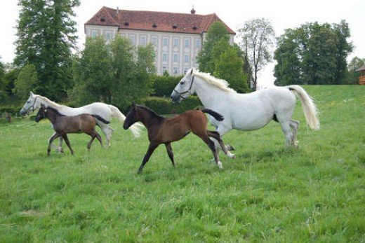 Stud horses with the Piber castle in the background