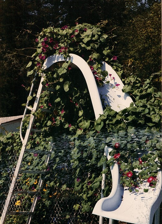 Our Pool ladder was awesome for the morning glories to climb.