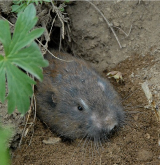 Pocket gophers here. Pocket gophers there. Pocket gophers everywhere.