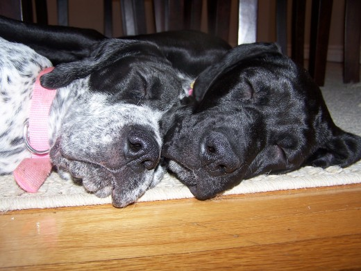 Boxapoint Boxapoints Boxer X German Shorthaired Pointer | Dog Breeds ...