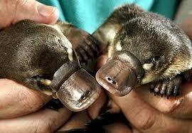 Platypus Babies