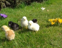 Our very own Easter Chicks