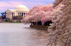 National Cherry Blossom Festivals, Washington DC, San Francisco, Hawaii, Chinhae, Macon