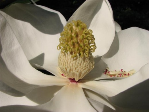 The Southern Magnolia flower has a lovely scent.