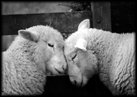 Woolly Love Ewe In Black And White