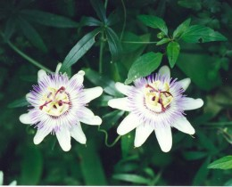 This passion flower is almost white and has a leaf with 5 points.