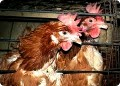 Organic Eggs and Poultry are not Free Range, neither are Free Range Eggs Organic