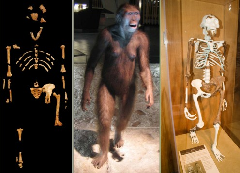 Wikimedia Commons. See: Author: 120  http://upload.wikimedia.org/wikipedia/commons/3/31/Lucy_blackbg.jpg Author: Esv ttp://upload.wikimedia.org/wikipedia/commons/3/32/A.afarensis.jpg Author: abardwell / Andrew from Cleveland http://en.wikipedia.org/w