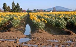 Daffodil Fields of Skagit Valley, WA