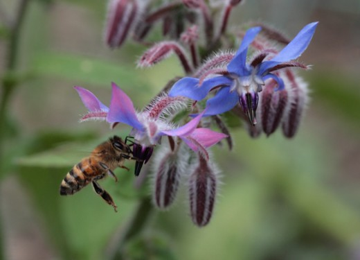 honey bee on borago officinalis