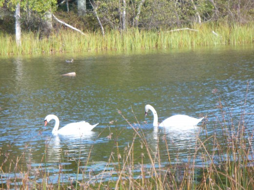 Swans on Hamlin Lake, Ludington State Park