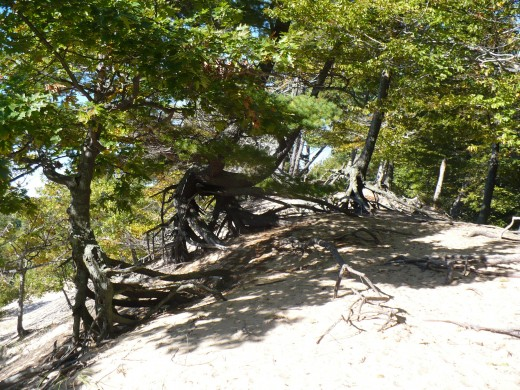 Windswept trees at the top of Ridge Trail, Ludington State Park
