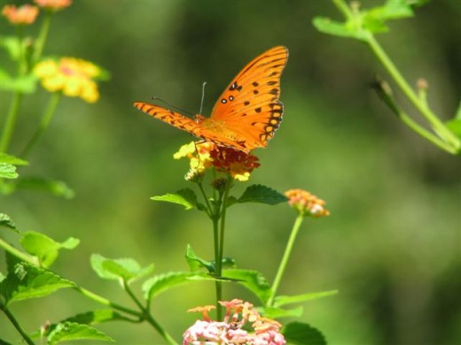 Lantana flowers attract many butterflies.