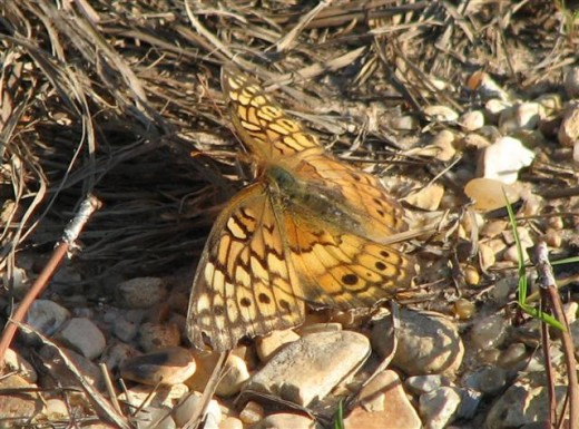Variegated Fritillaries live in grassy fields.