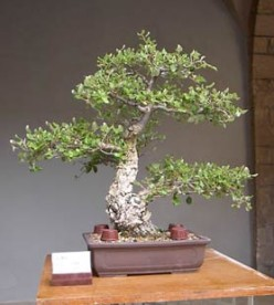 Informal Upright Style Bonsai