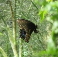 Butterflies - Black Swallowtail