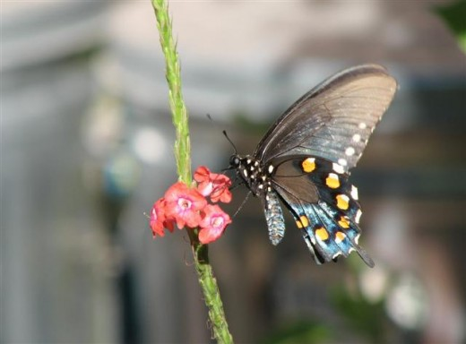 Pipevine Swallowtails are also confused with E. Blacks.