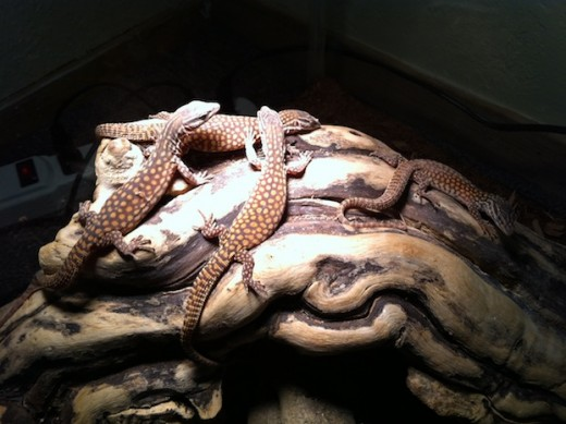 My four hatchling Red ackie monitors