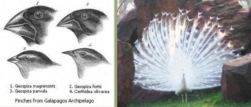 Darwin's finches ~ beaks evolved to suit environment - public domain - copyright expired - http://en.wikipedia.org/wiki/File:Darwin%27s_finches.jpeg Peacock's tail - evolved because of sexual selection - Author:Pavo cristatus;  2004 by M. Betley - Wi