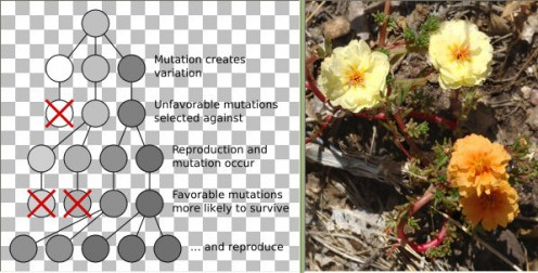 Chart: Mutation and selection diagram - Wikimedia Commons - GNU Free Documentation License - http://en.wikipedia.org/wiki/File:Mutation_and_selection_diagram.svg Flowers: Wikimedia Commons - JerryFriedman - Creative Commons Attribution-Share Alike 3.