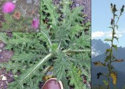 The Bull Thistle Plant: Is it Just a Weed?