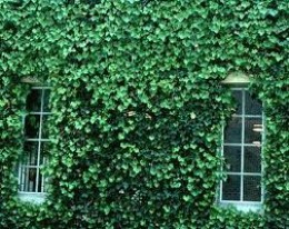 English ivy on a building.
