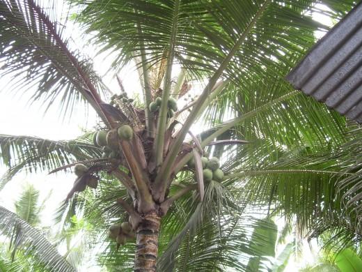 Kerala tender coconuts