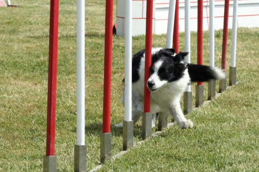 Pictures of Border Collies