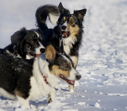 Picture of Tri - colour Border Collies