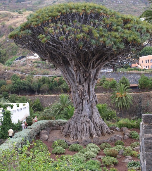 The Dragon Tree in Icod